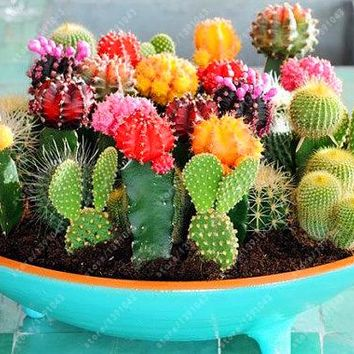 cactus  seeds  succulents  plant    garden  decoration