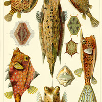 Haeckel - Organisms Classified as Ostraciontes (fish)