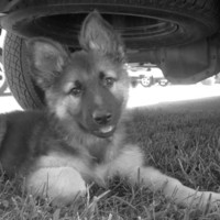 10% OFF German Shepherd Puppy 8X10 Photo , Black and White , Alsatian , Dog Lovers Gift , Pet Photography