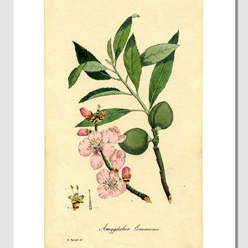 Almond Flower Botanical Print, 1829 - 8.5x11 Reproduction Antique Print - also available in 13x19 - see listing details
