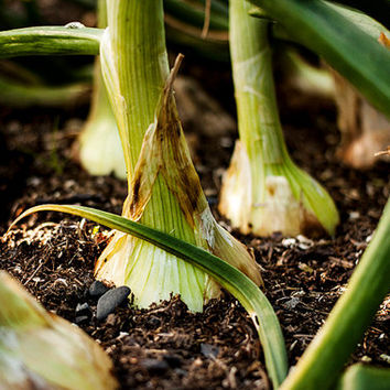 Photo of Onions in the Garden, Garden Photography, Macro Photography, Food Photography, Kitchen Art, Vegetable Art, Food Wall Art 4x6-24x36