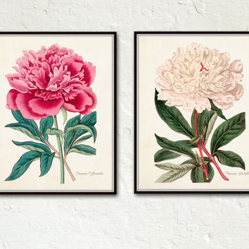 Vintage French Peony Set No. 5 - Botanical Print - Giclee - Canvas Art - Wall Hanging - Prints - Posters - Antique Botanical - Print Sets