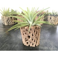 Cholla Wood Air Plant Holder with Air Plant