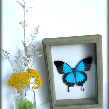 Framed Butterfly - mounted Papilio Ulysses butterfly - insect display - real butterfly - shadow box - taxidermy - entomology