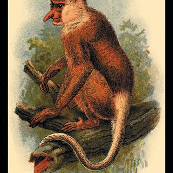The Proboscis Monkey 20x30 poster