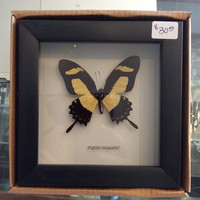 Papilio Torquatus Black Glass Frame