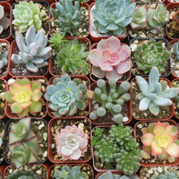 4 Succulent Plants, Great For Terrarium Projects, Centerpieces, Weddings, Container Gardens, Home Decor