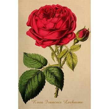 old school botanical poster ROSA FRANCOIS LACHARME FLOWER prize beauty 24X36