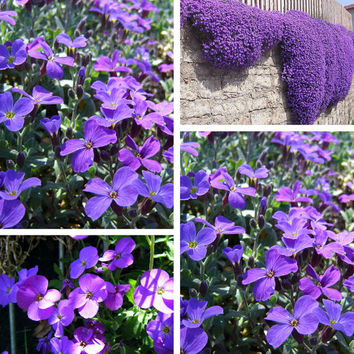 100 Rock Cress Aubrieta Purple Cascade Flower Seeds - Perennial Home Garden Farm View Decor - Deer Resistant Superb Perennial Ground Cover