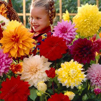 Real 20 pcs/bag mix colors dahlia seeds Surprisingly giant flower seeds baby very love it ~bonsai or pot plant seeds