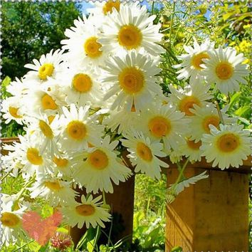 400 German Fragrant Chamomile Flower Seeds Heirloom NON-GMO Fragrant orchid creepers  2017