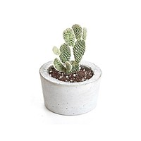 LIVE Bunny Ear Cactus with Concrete Planter  - Ships Alone