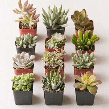 """Assorted 2"""" Live Succulents - Set of 12 