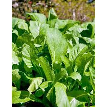 MUSTARD GREENS, OLD FASHIONED, HEIRLOOM, ORGANIC 25+ SEEDS, GREAT FOR SALADS