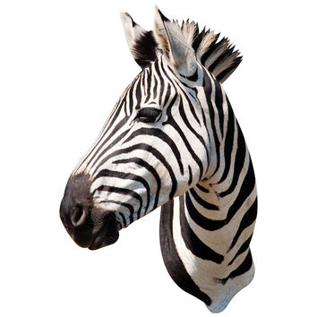 Zebra Mount Wall Decal