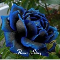Free Shipping 20 Midnight Supreme Rose Seeds , Rare color, Real seeds, Ideal DIY Hom