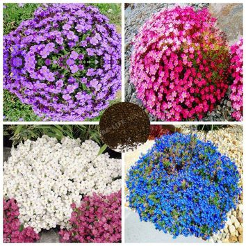 100 Pcs Multicolor Creeping Thyme Seeds Seeds Violet Queen Flower Seeds Bonsai Potted Ground Cover Flower Plant For Garden Decor