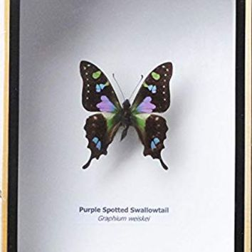 FRAMED REAL BEAUTIFUL GRAPHIUM WEISKEI BUTTERFLY DISPLAY INSECT TAXIDERMY