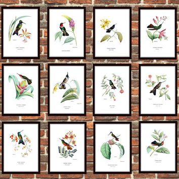 Set of 12 Vintage illustration, Hummingbird prints, prints of birds, Vintage zoological Book reproduction print, Gift Idea Picture Set *5*