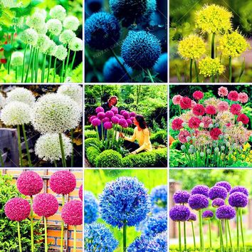 100 Purple Giant Allium Giganteum Beautiful Flower Seeds Garden Plant the budding rate 95% rare flower for kid Home Garden plant