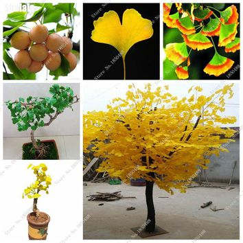 Mini Bonsai Ginkgo Biloba Seed Maidenhair Tree Seed, Evergreen Tree Seed Fresh/Nut/Dried Fruit Edible, Outdoor Ornaments 5 Pcs