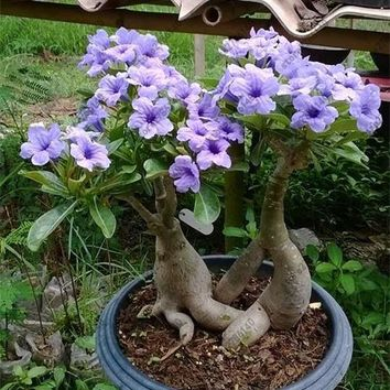 Adenium Obesum seeds 2pcs desert rose rare Thailand flower seeds for home garden plant easy grow