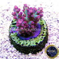 Saltwater Aquarium Corals for Marine Reef Aquariums: Strawberry Shortcake Acropora Coral - Aquacultured