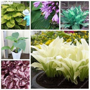 50pcs/ bag Rare Hosta Plantaginea Seeds Outdoor Charming Ground Cover Bonsai Potted Garden Plant for Flower Pot Planters