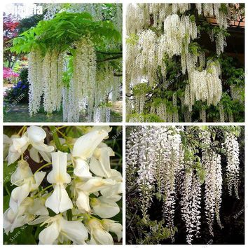 White Wisteria Seed Garland Hanging Flowers Outdoor Wedding Ceremony Decor Wisteria Vine Flower Seedling Seed Bonsai Plant 10Pcs
