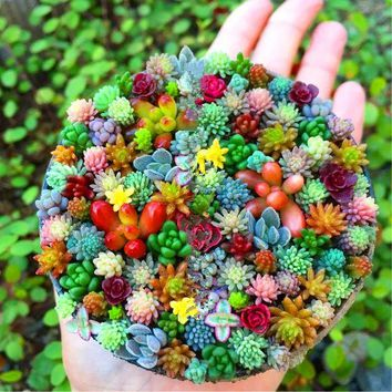 200 pcs/pack Real mini succulent Seeds cactus seeds rare perennial herb plants bonsai pot flower seeds indoor plant for home