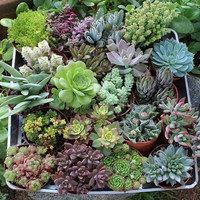 9 Assorted Succulents in their 4 inch plastic containers  wedding shower favors party gifts plants succulent