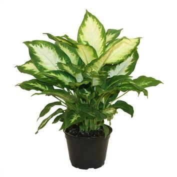 Delray Plants Dieffenbachia Camille in 6 in. Pot-6CAMILLE - The Home Depot