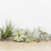 Ultimate Xerographica Air Plant Collection, Set of Ten + Organic Plant Food