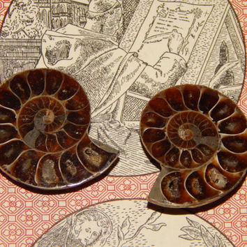 Genuine AMMONITE FOSSIL PAIR - Ammolite Halves - 300 Million Year Old Fossils - Gemstone Collection or Jewelry Making Supply - Crystals