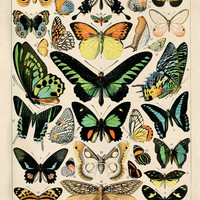 Vintage Butterlfy Diagram Reproduction. Variety of Butterflies Educational Chart Diagram Poster. CP209