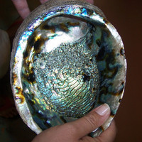 Coastal Home Decor Gorgeous Natural Blue Abalone Sea Shell