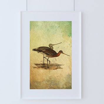 Vintage Bird Illustration Natural History Print Vintage Illustrated Black Tailed Godwit Giclee Cotton Canvas or Paper Canvas Wall Decor Art