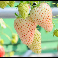 Heirloom, White Strawberry, White Soul, Pineapple Flavor, Fragaria vesca, 25 Seeds