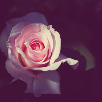 "Flower photography - pink rose photograph - dark botanical print - rose flower photograph ""Rose Light"""