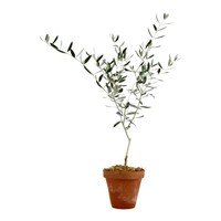 Large Olive Tree in Terra Cotta Pot | Sur La Table