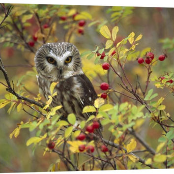 Northern Saw-whet Owl Perching in a Wild Rose Bush, British Columbia, Canada