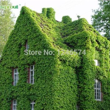 Hedera seeds, garden walls dedicated seeds, covering a large area, Plant climbing strong, budding rate, 150pcs