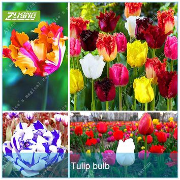 ZLKING 2 Pcs Rare Tulip Bulbs (Not Tulip Seeds) Bonsai Beautiful Perennial Ture Fresh Flower Bulb For Home Garden Root Plant
