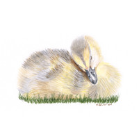 Sleeping Baby Duck