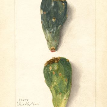 Prickly Pear, Prickly Pear (1904)