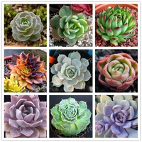2017 succulent fleshy plants flower seeds in pots perennial fleshiness garden bonsai plants seed planting easily 300pcs/bag