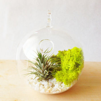 Terrarium Kit with Air Plant and Moss in Round Orb