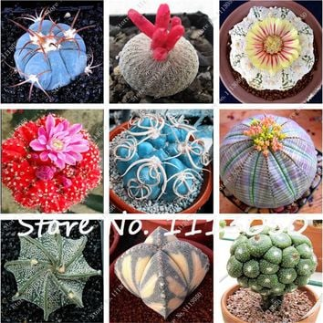 100 Pcs Mixed Cactus Seeds Indoor Multifarious Ornamental Plants Seed Rare Succulents Flower Seeds Can Purify The Air For Jardin