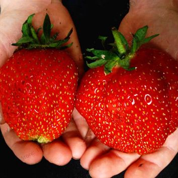 Best-Selling!500pcs/bag strawberry seeds giant strawberry Organic fruit seeds vegetables Non-GMO bonsai pot for home garden plan