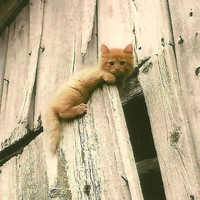 Blank Photo Note Card Curious Kitty on Barn door Little Ginger kitten